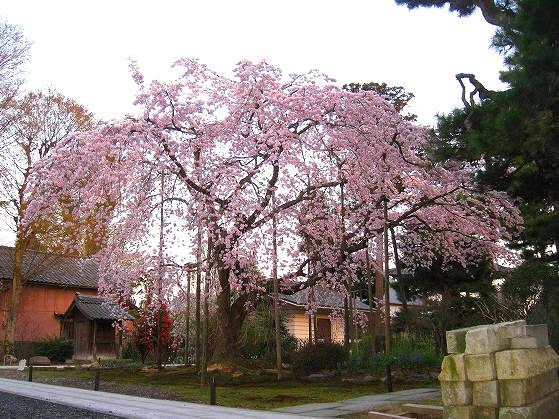大寶寺の枝垂れ