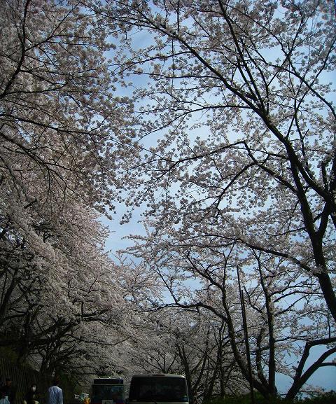 桜の トンネル