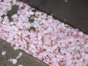 散った桜4