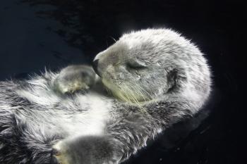 お眠りラッコ