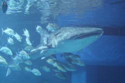 ジンベエザメの海くん