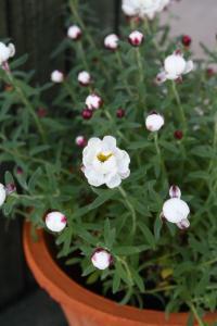 白い小花でかわいい