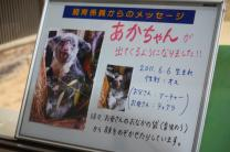 コアラの赤ちゃん情報