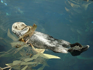 2_1252975011_cute-otter-sleeping-in-the-seaweed.jpg