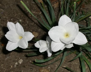 rainlilies04081302.jpg