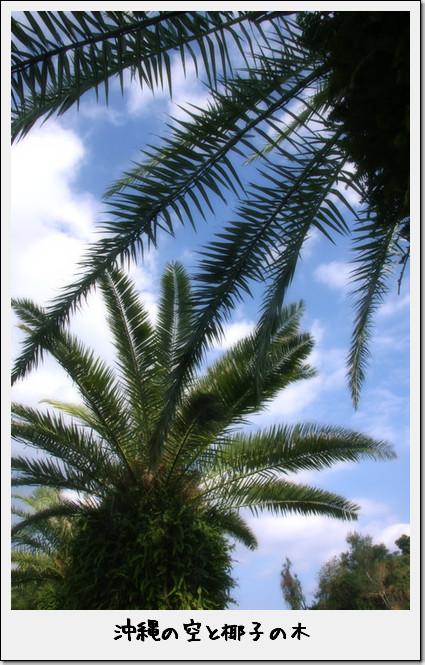 沖縄の椰子の木