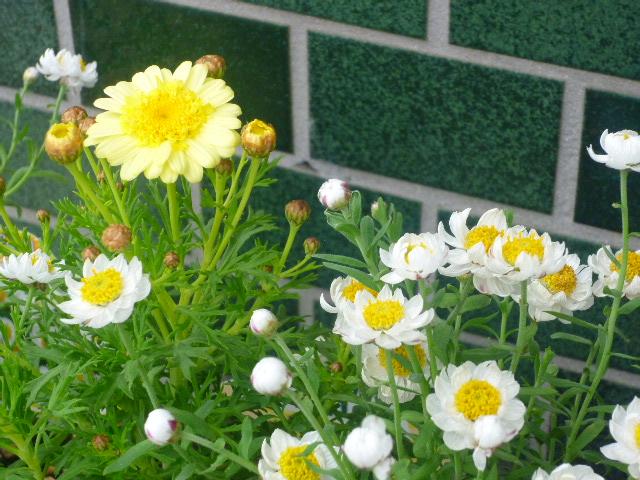 花かんざしとボンザマーガレット