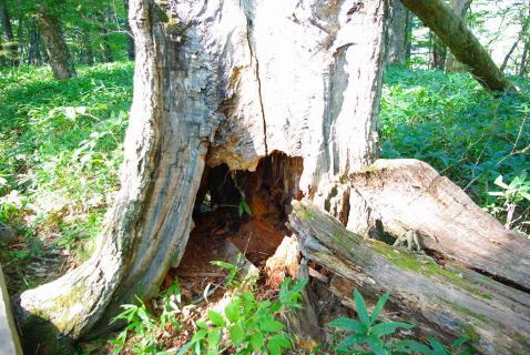 戦場ヶ原倒木の根元