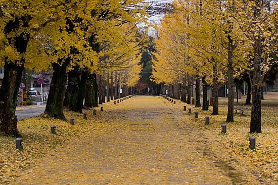 学びの森いちょう並木黄葉