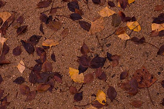 イチョウ落ち葉は雨に打たれて