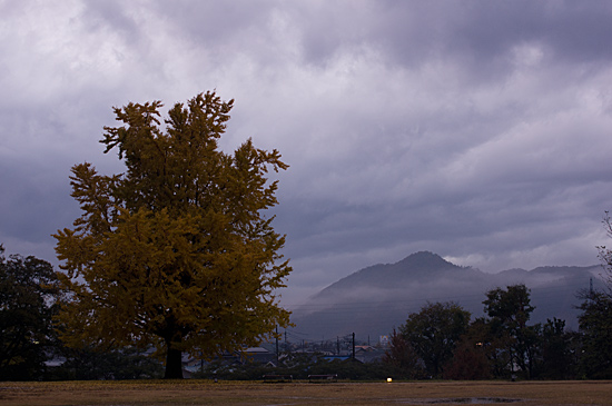 シンボルツリーの大銀杏