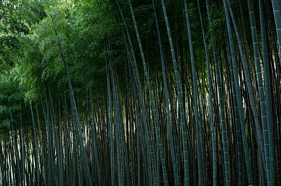 牧野ヶ池竹林-3