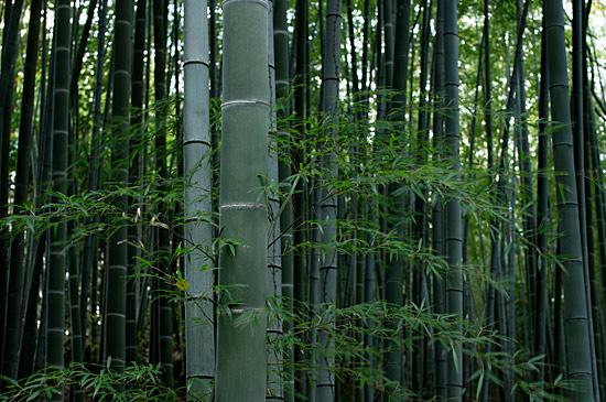 牧野ヶ池竹林-6