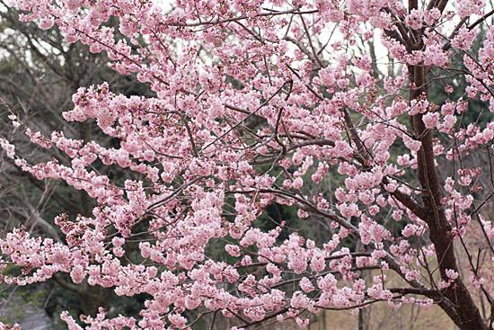 東山植物園梅-10