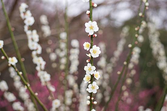 東山植物園梅-2