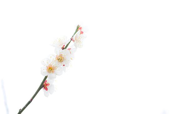 東山植物園梅-3