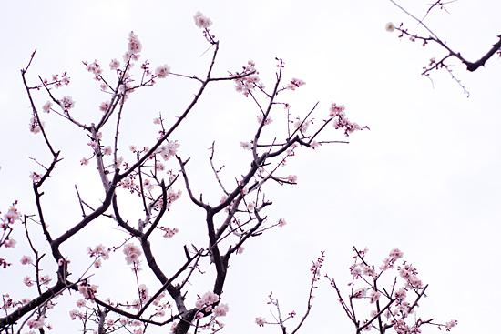 東山植物園梅-5