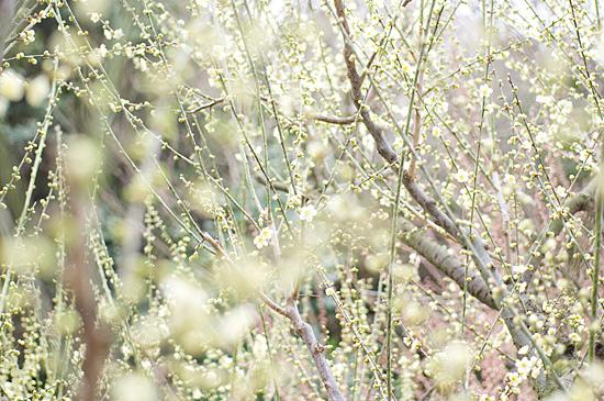 東山植物園梅-6