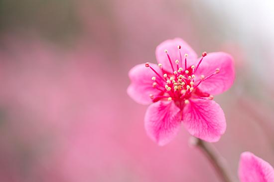 東山植物園梅-7