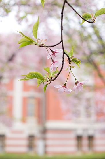 高岳桜-12
