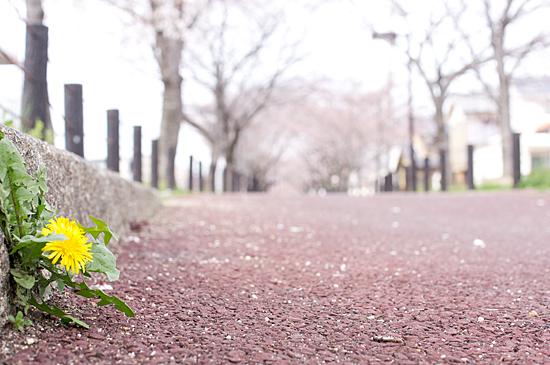 桜シーズン-1