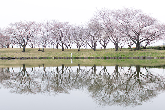 桜シーズン-10