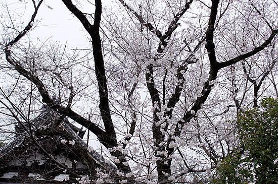 桜シーズン-11