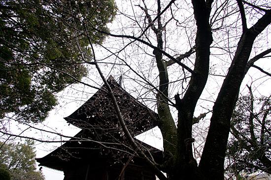 桜シーズン-12