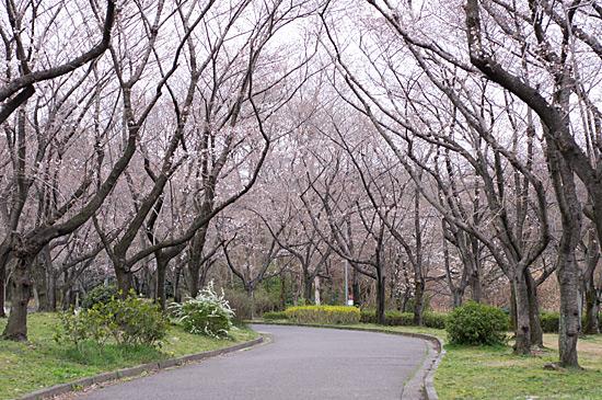 桜シーズン-3