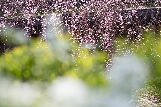 桜シーズン-4