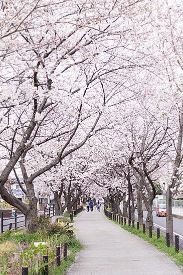 桜シーズン-6