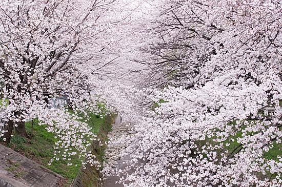 桜めぐり3-1