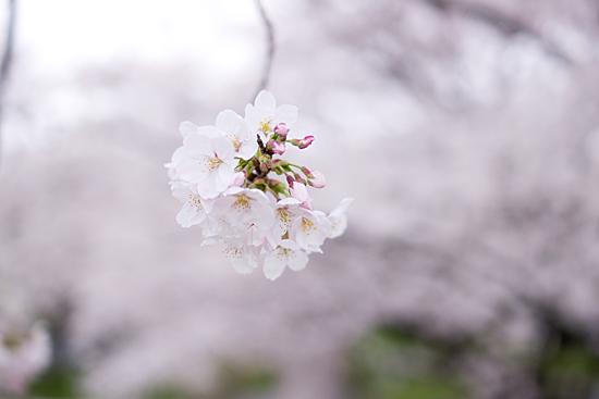 桜めぐり3-3