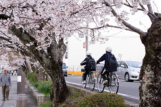 犬山桜-8