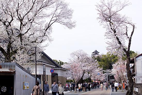 犬山桜-1