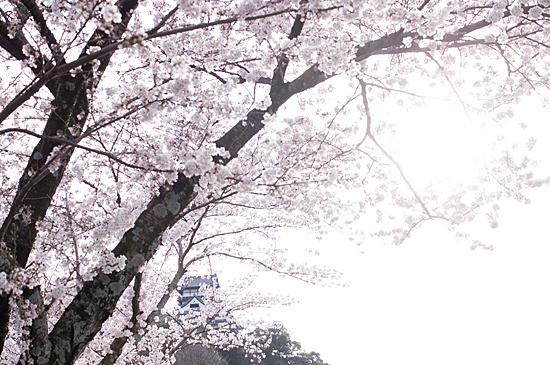犬山桜-2