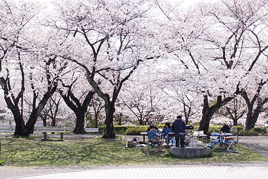 近所桜-1