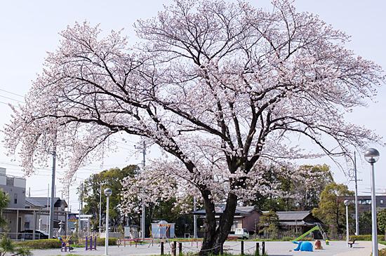 近所桜-10