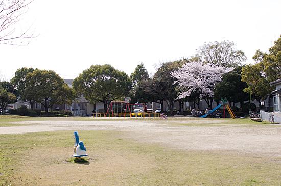 近所桜-11