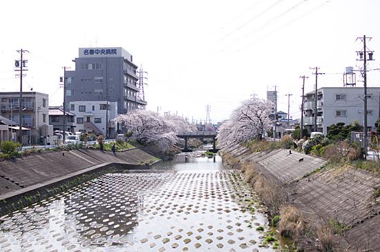 近所桜-12