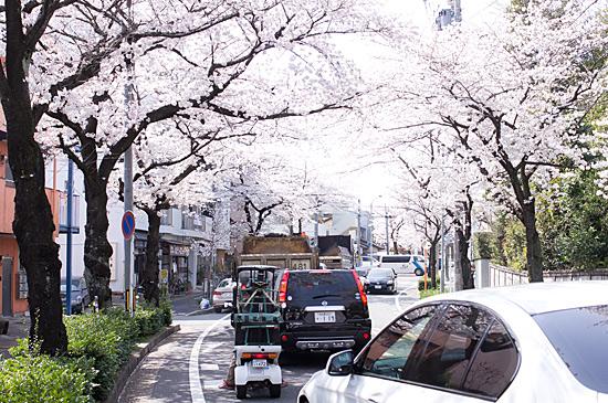 近所桜-2