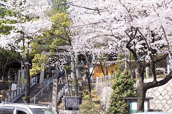 近所桜-3