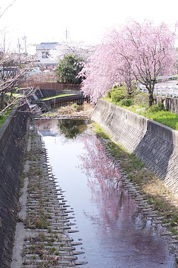 近所桜-4