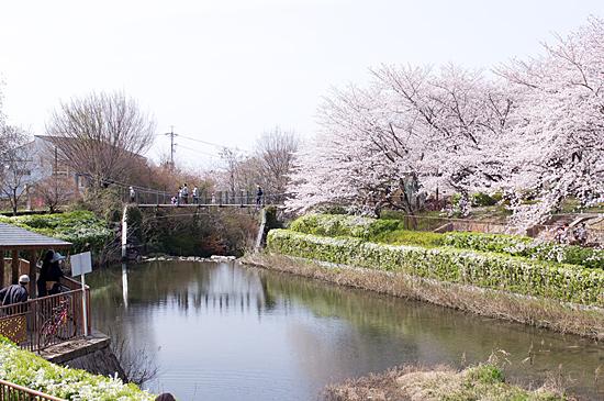 近所桜-5