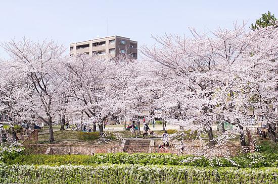 近所桜-6