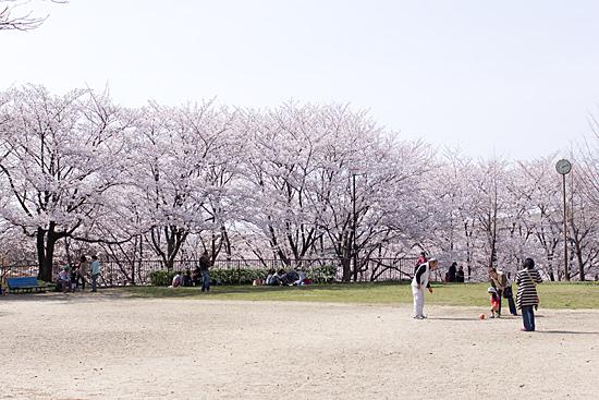 近所桜-7