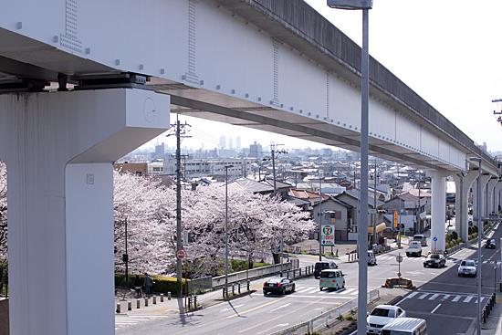 近所桜-8