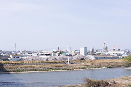 近所桜-9