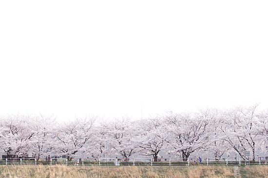 天白川桜-1
