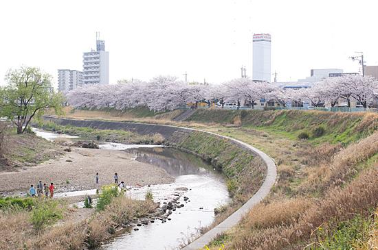 天白川桜-11
